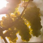 3 grappes de raisins de riesling