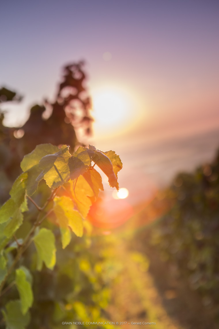 photo d'une feuille de vigne avec le soleil en arrière plan