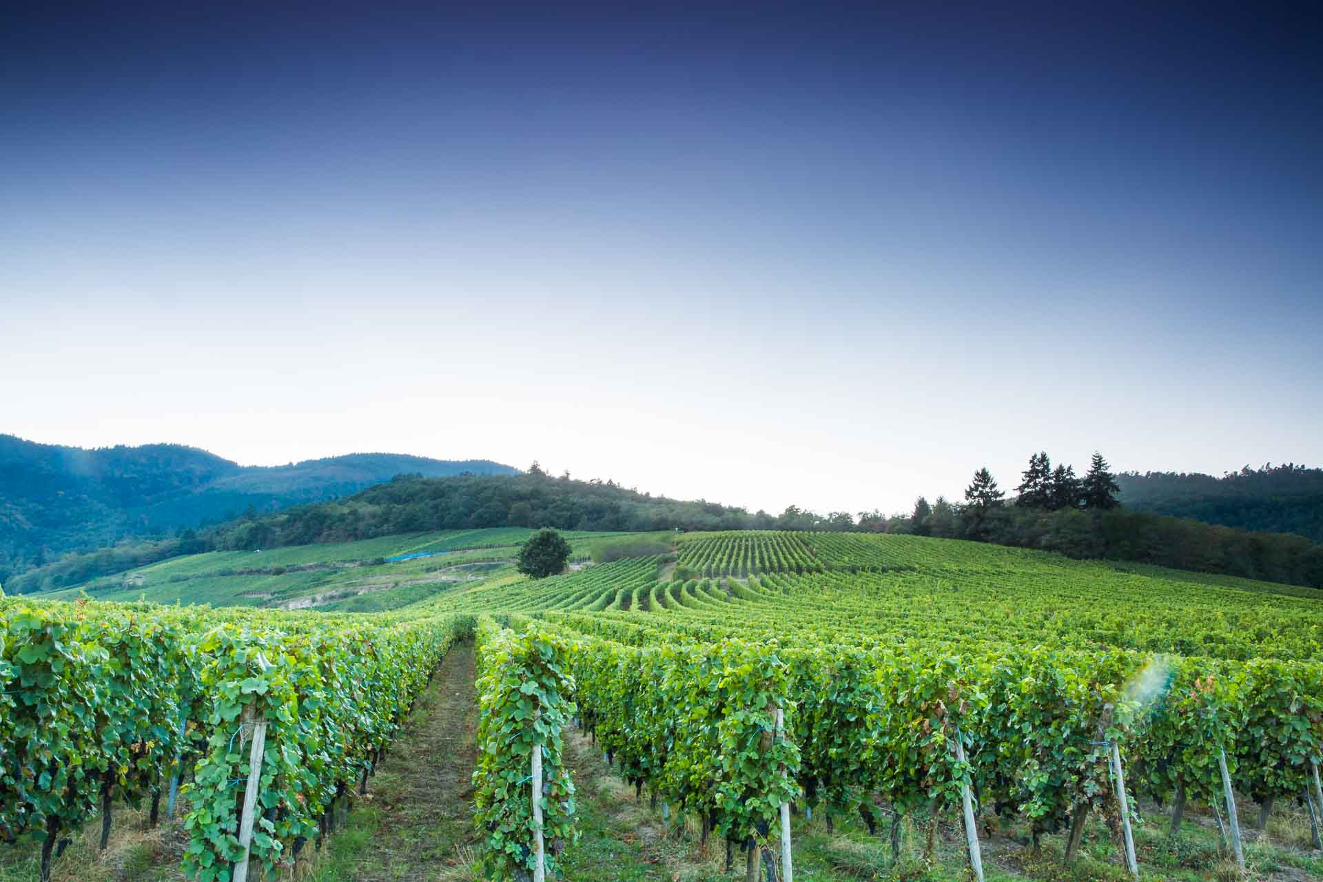 paysage de vigne au grand cru Frankstein